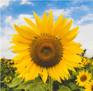 vitamin E oil sunflower oil