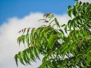 benefits of neem oil for hair growth - neem tree